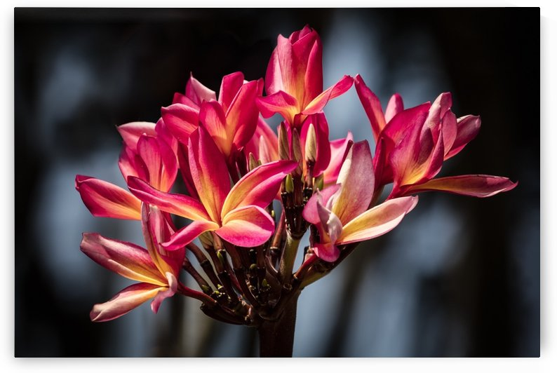 Close-up of bright pink plumeria flowers; Maui, Hawaii, United States of America by PacificStock