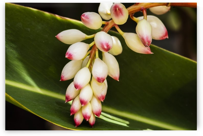 Close-up of white ginger flower Alpinia; Maui, Hawaii, United States of America by PacificStock