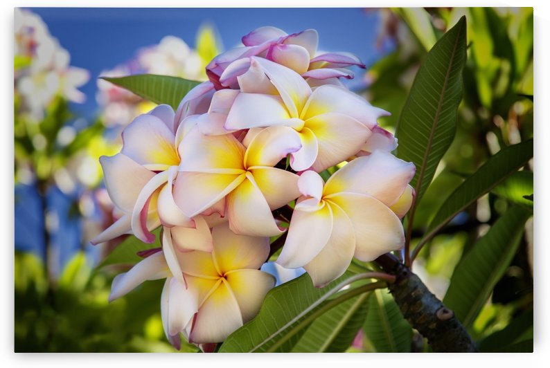 Close-up of pink plumeria flowers and blue sky; Lanai, Hawaii, United States of America by PacificStock