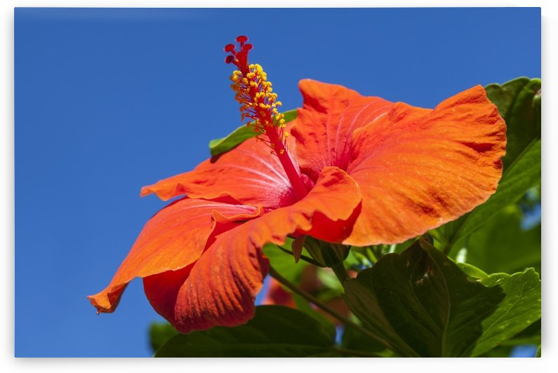 Close-up of red hibiscus flower and blue sky; Maui, Hawaii, United States of America by PacificStock