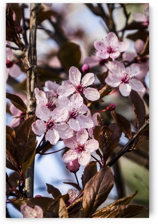 Close-up of a pink flowering shrub; Bath, England by PacificStock