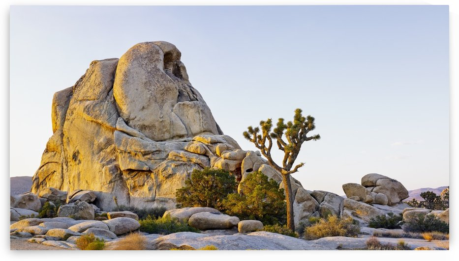 Rock formation and tree at sunrise, Joshua Tree National Park; California, United States of America by PacificStock