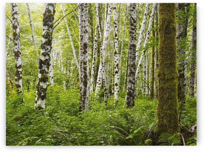 A forest with dense plant growth on the forest floor and moss covered tree trunks; Tofino, British Columbia, Canada by PacificStock