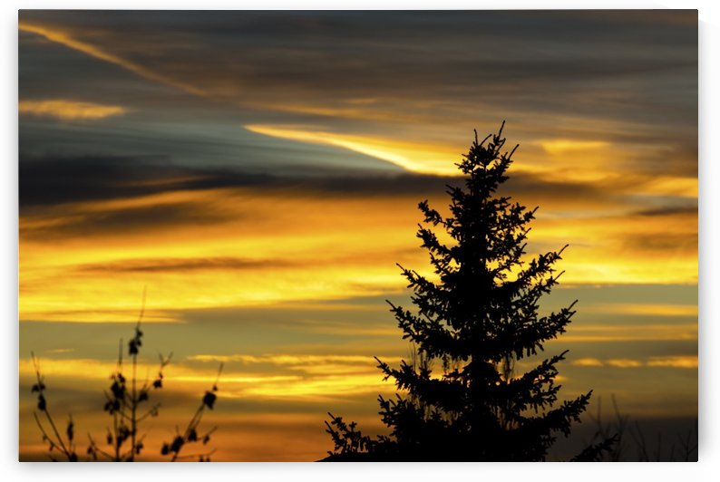 Silhouette of evergreen tree with colourful dramatic sky at sunset; Calgary, Alberta, Canada by PacificStock