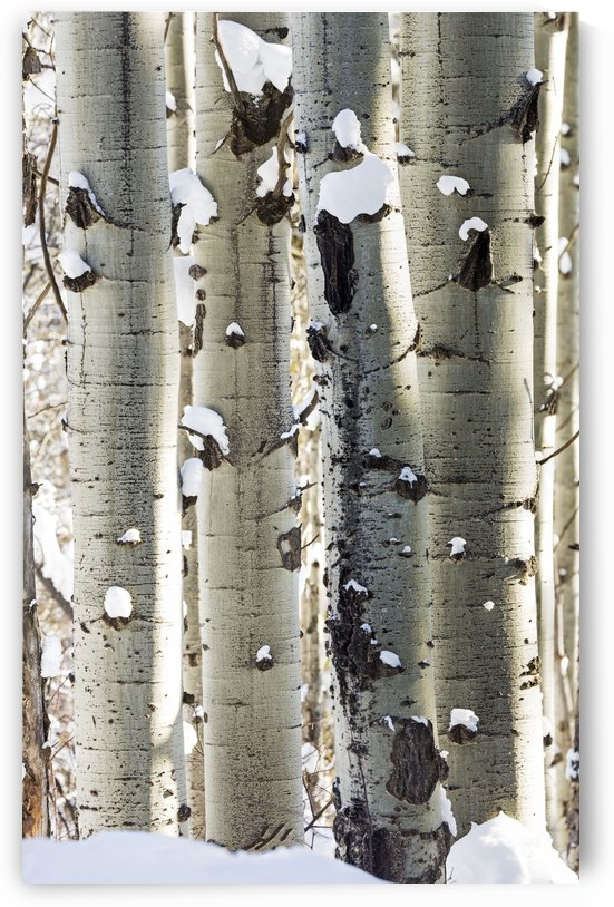 Snow covered white trunks of large Aspen trees; Invermere, British Columbia, Canada by PacificStock