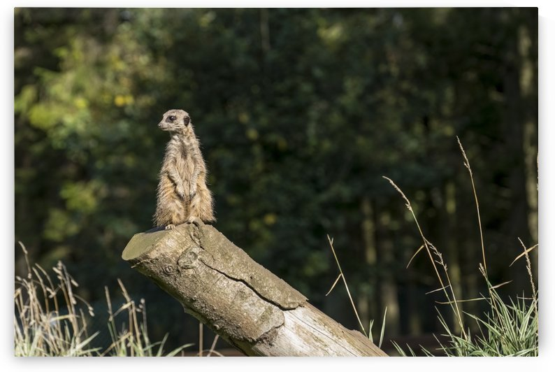 A meerkat (Suricata suricatta) sits watchful and alert on a log; North Yorkshire, England by PacificStock