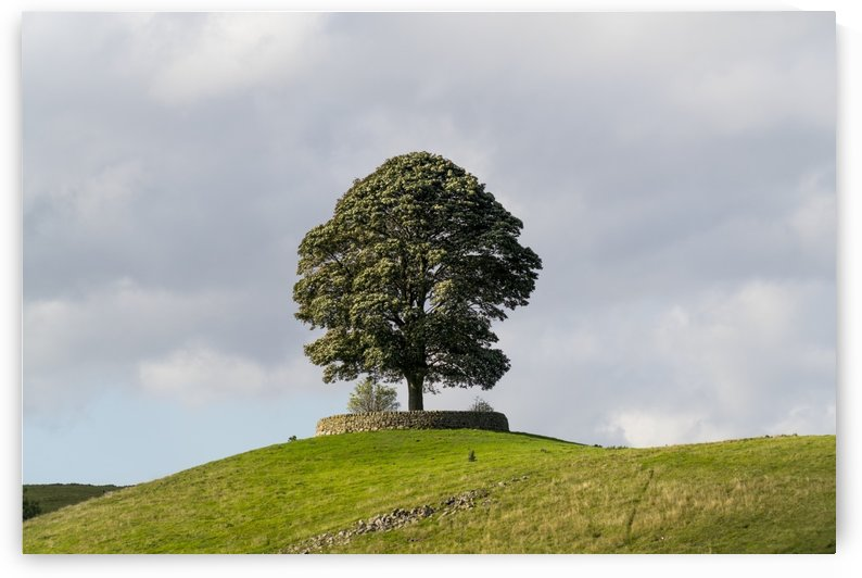 A large tree surrounded by a low stone fence sits on a hilltop under a cloudy sky; North Yorkshire, England by PacificStock