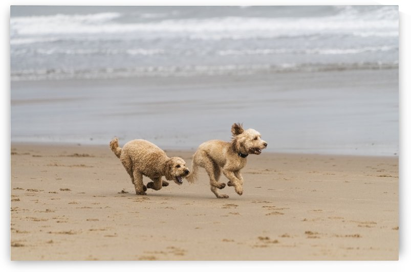 Two blond cockapoos running on a beach at the water's edge; South Shields, Tyne and Wear, England by PacificStock