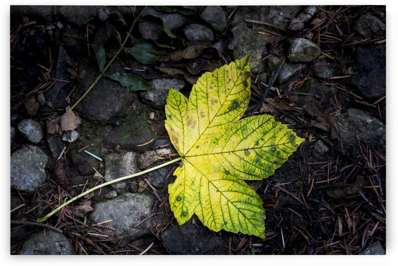 A green leaf lays on the ground with rocks and pine needles; North Yorkshire, England by PacificStock