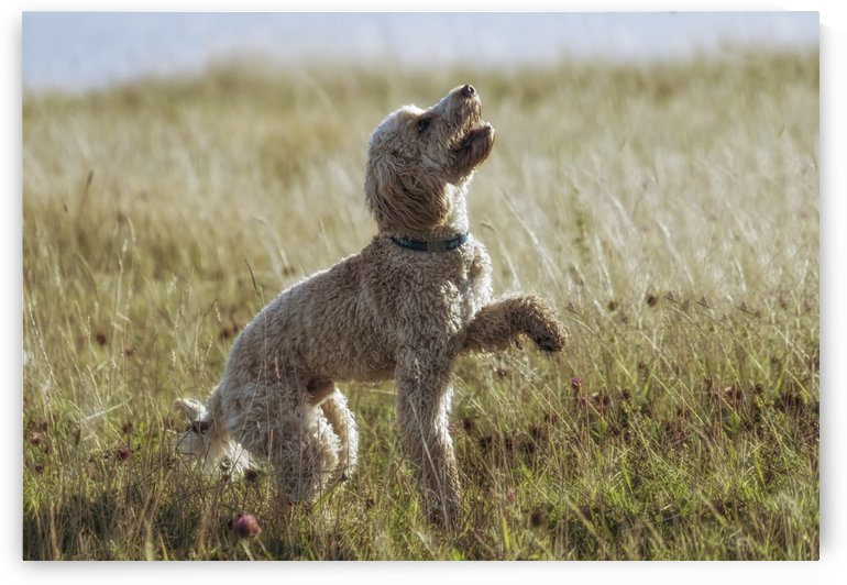 A blond cockapoo plays in the grass; South Shields, Tyne and Wear, England by PacificStock