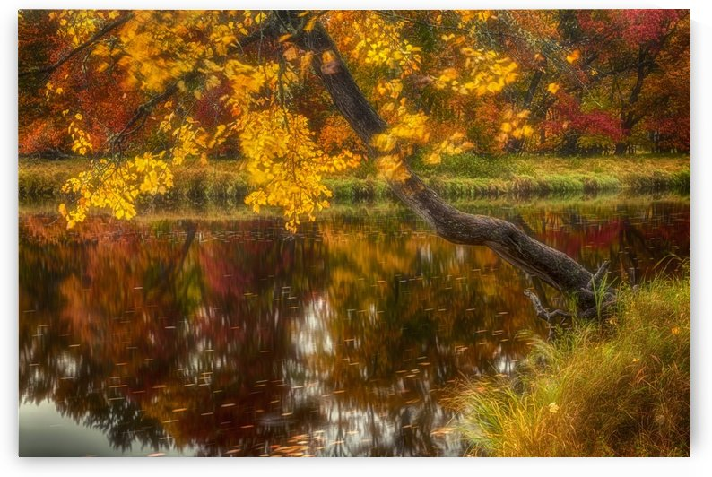 Wind tossed maple along the Mersey River in autumn, Kejimkujik National Park; Nova Scotia, Canada by PacificStock