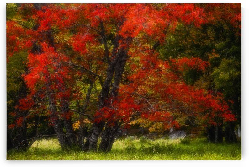 An autumn red maple in a grassy meadow beside the Mersey River near Jakes Landing, Kejimkujik National Park; Nova Scotia, Canada by PacificStock