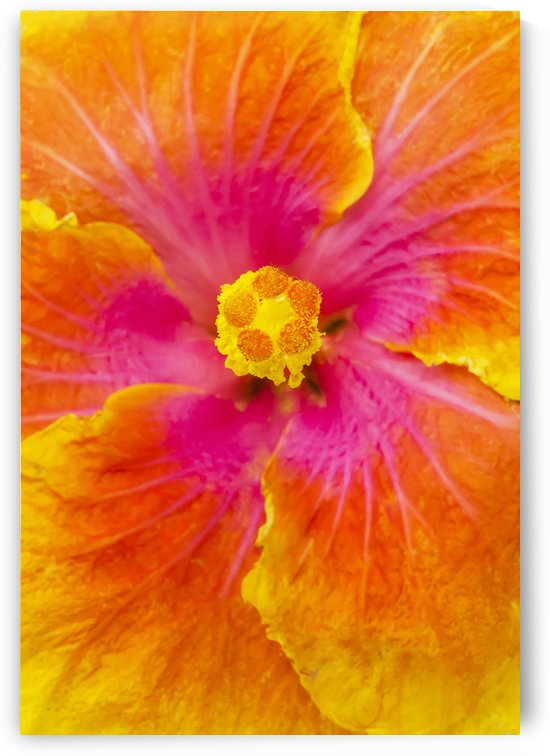 Close-up macro shot of a beautiful orange, pink and yellow Hibiscus flower; Honolulu, Oahu, Hawaii, United States of America by PacificStock
