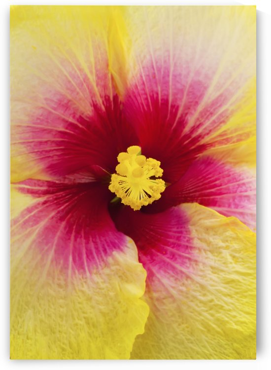 Close-up macro shot of a beautiful red and yellow Hibiscus flower; Honolulu, Oahu, Hawaii, United States of America by PacificStock