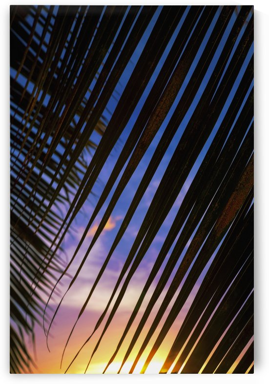 Close-up of silhouetted palm fronds with beautiful sunset color sky in the background; Honolulu, Oahu, Hawaii, United States of America by PacificStock