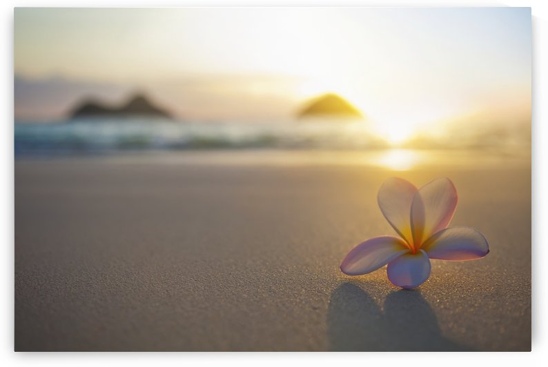 A pink plumeria flower sits on the sand of Lanikai Beach in Kailua with a view of Mokulua twin islands and the ocean at sunset in the distance; Kailua, Oahu, Hawaii, United States of America by PacificStock