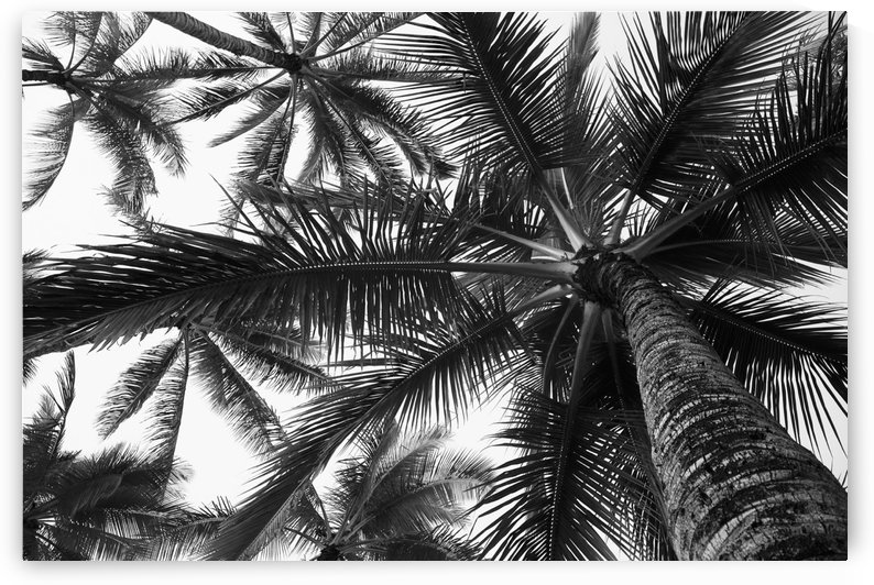 Low angle view of coconut palm trees in black and white; Honolulu, Oahu, Hawaii, United States of America by PacificStock