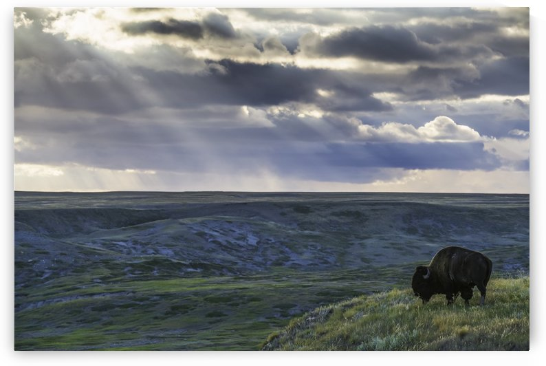 A lone bison (bison bison) grazes on the buttes of Grasslands National Park; Saskatchewan, Canada by PacificStock