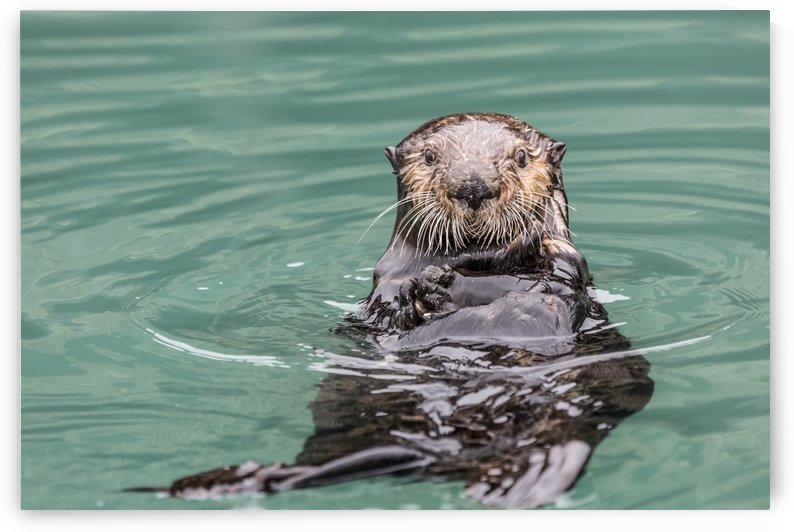 Close-up of a Sea Otter (Enhydra lutris) floating on it's back, looking towards the camera, South-central Alaska; Seward, Alaska, United States of America by PacificStock
