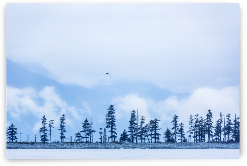 A bird flies above trees under a cloudy sky and fog on the coast of Resurrection Bay, South-central Alaska; Seward, Alaska, United States of America by PacificStock