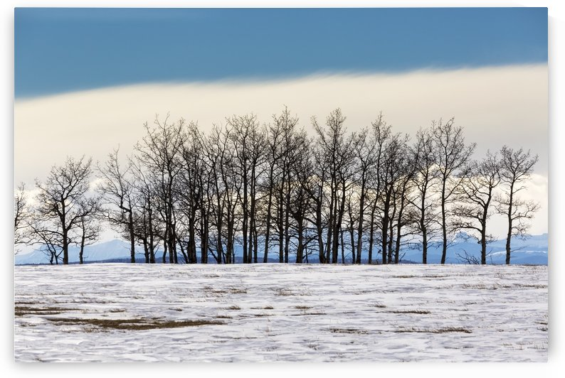 A row of trees in a snow covered field with a bank of cloud and blue sky in the background; Calgary, Alberta, Canada by PacificStock