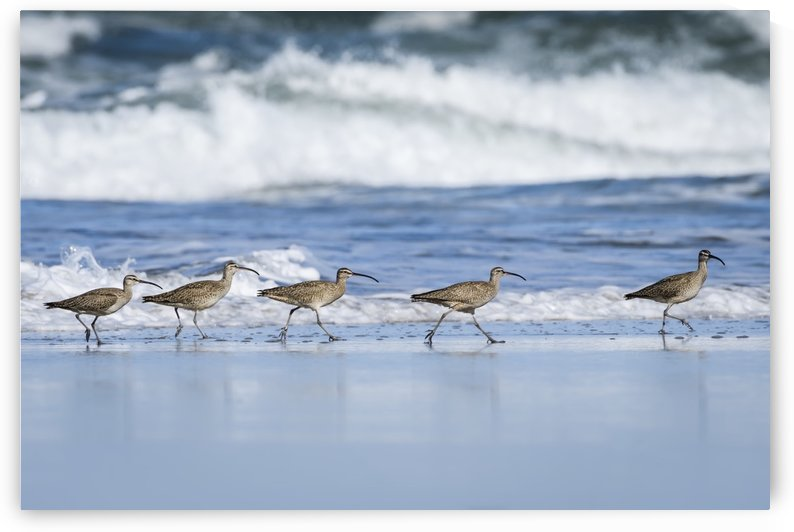 Whimbrels (Numenius phaeopus) look for sand crabs on the beach in Oregon; Newport, Oregon, United States of America by PacificStock