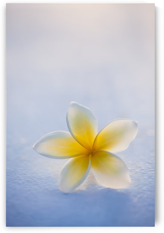 Close-up of a single beautiful yellow Plumeria flower (Apocynaceae) in soft focus; Honolulu, Oahu, Hawaii, United States of America by PacificStock