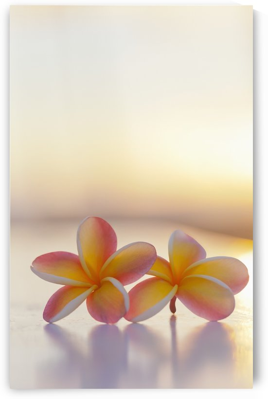 Close-up of a pair of beautiful yellow and pink Plumeria flowers (Apocynaceae) with sunset lighting the background; Honolulu, Oahu, Hawaii, United States of America by PacificStock