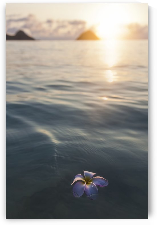 A single beautiful pink Plumeria flower (Apocynaceae) floating in the water off Lanikai Beach; Honolulu, Oahu, Hawaii, United States of America by PacificStock