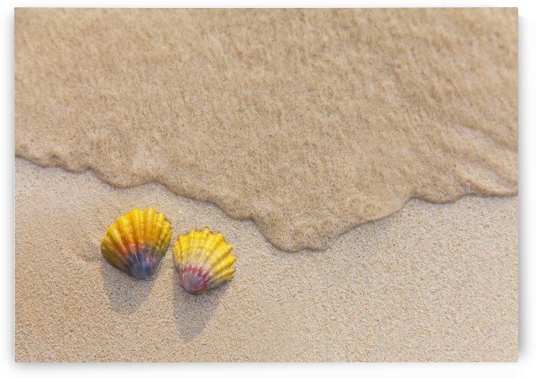 A set of two rare Hawaiian Sunrise Scallop Seashells, also known as Pecten Langfordi, in the sand at Lanikai beach; Honolulu, Oahu, Hawaii, United States of America by PacificStock