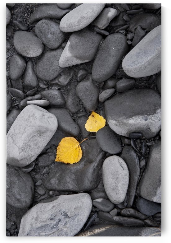 Close Up Of Fallend Fall Leaves And Silt Covered Rocks, Chugach State Park, Southcentral Alaska by PacificStock