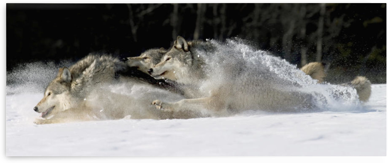 Pack Of Grey Wolves Running Through Deep Snow Captive Ak Se Winter Composite by PacificStock