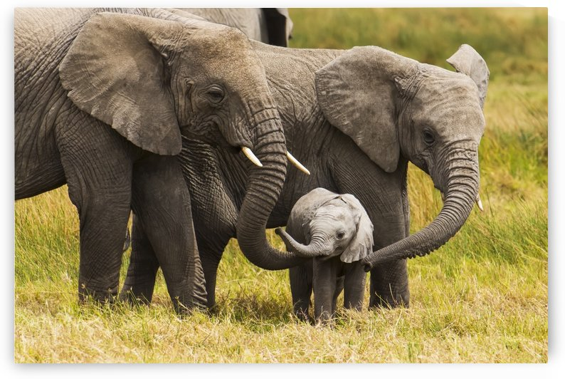 African elephants walking with their young on the serengeti; Tanzania by PacificStock