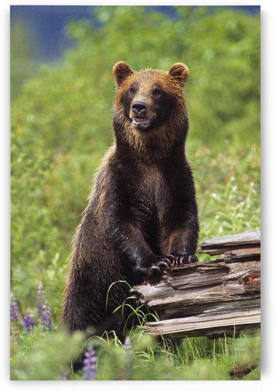 Brown Bear Standing Upright On Log Captive Alaska Wildlife Conservation Center Southcentral Alaska by PacificStock