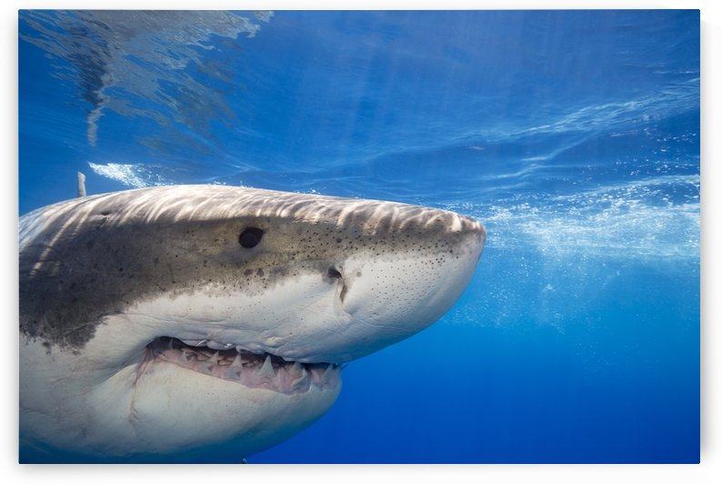 Great white shark (Carcharodon carcharias); Guadalupe Island, Mexico by PacificStock