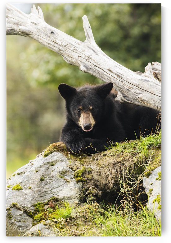 Black bear cub (ursus americanus), captive at the Alaska Wildlife Conservation Center, South-central Alaska; Portage, Alaska, United States of America by PacificStock