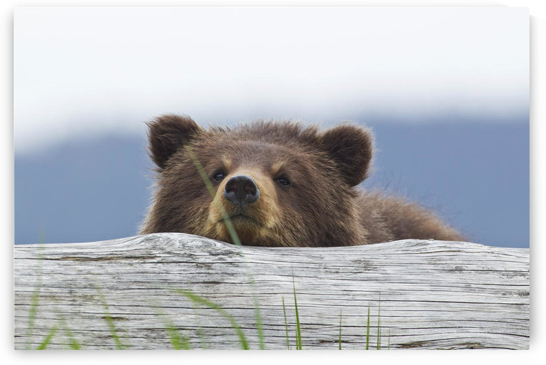 A Brown Bear Cub Rests Its Head On A Log In An Estuary On Admiralty Island, Pack Creek, Tongass National Forest, Southeast Alaska, Summer by PacificStock