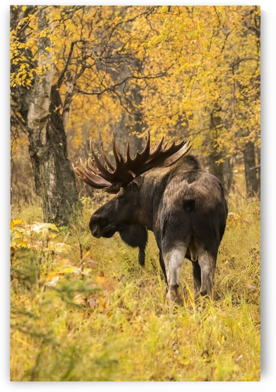 Bull moose (alces alces) with antlers standing in autumn coloured foliage, South-central Alaska; Alaska, United States of America by PacificStock