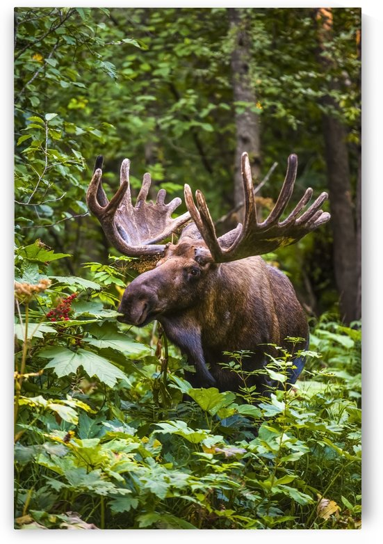 A bull moose (alces alces) in velvet antlers in Kincade Park, Southwest Anchorage on a sunny summer day; Anchorage, Alaska, United States of America by PacificStock