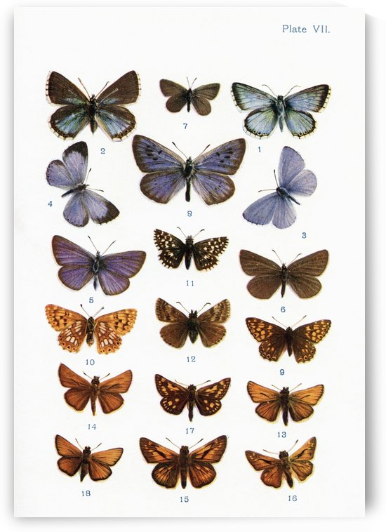 Different types of butterflies. Illustration by W.S.Furneaux. From the book Butterflies, Moths and Other Insects and Creatures of the Countryside. Published 1927. by PacificStock