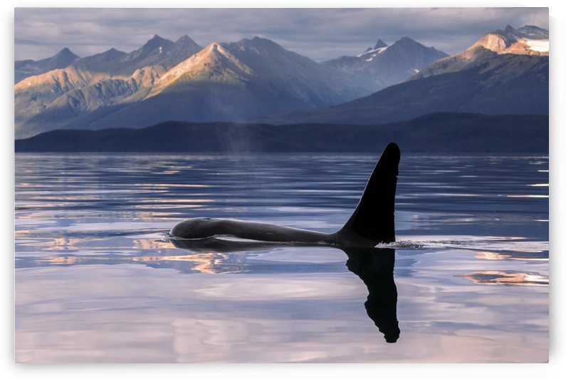 An Orca Whale (Killer Whale) (Orcinus orca) surfaces near Juneau in Lynn Canal, Inside Passage; Alaska, United States of America by PacificStock