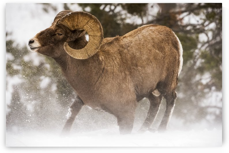 Large Bighorn ram (ovis canadensis) kneeling down into blowing snow, Shoshone National Forest; Wyoming, United States of America by PacificStock