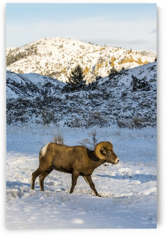 Bighorn ram (ovis canadensis) walking through snowy meadow, Shoshone National Forest; Wyoming, United States of America by PacificStock