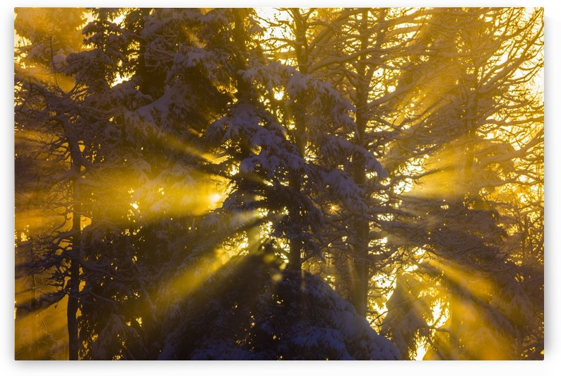 Rays of sunlight through trees illuminate ice fog on a very cold day; Fairbanks, Alaska, United States of America by PacificStock