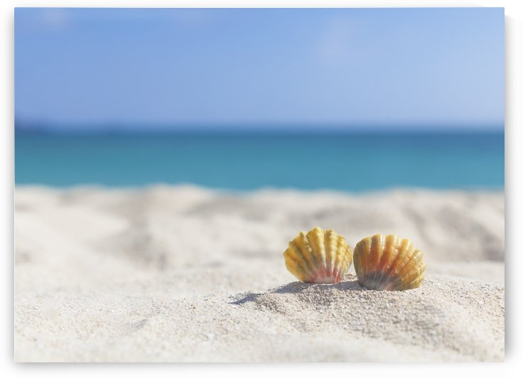 A set of two rare rainbow color Hawaiian Sunrise Scallop Seashells, also known as Pecten Langfordi, in the sand at the beach; Honolulu, Oahu Hawaii, United States of America by PacificStock