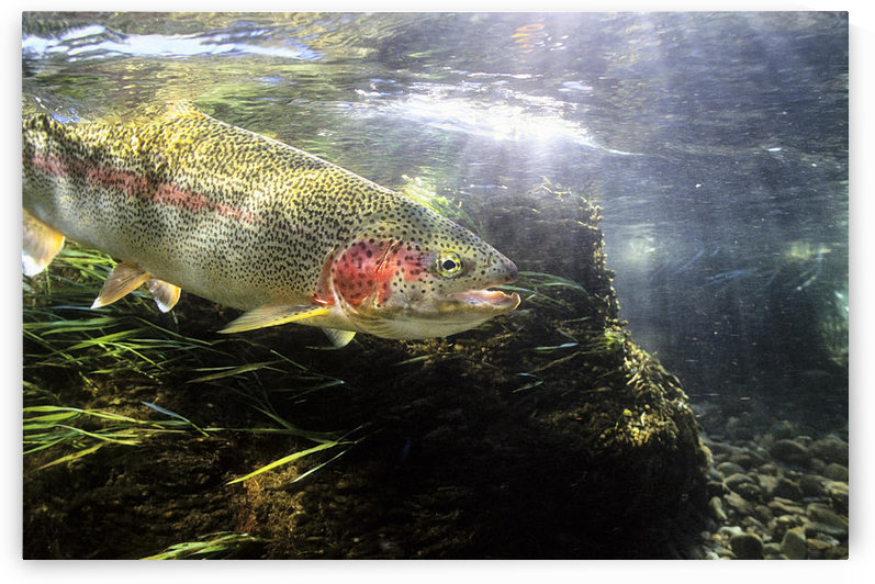 Rainbow Trout In The Kulik River, Katmai National Park, Southwestern Alaska, Summer by PacificStock