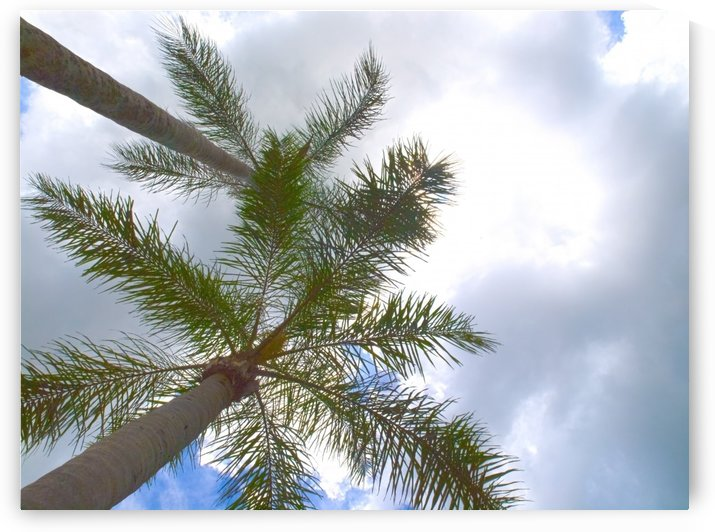 HDR Palm trees looking up against a cloudy sky by PJ Lalli