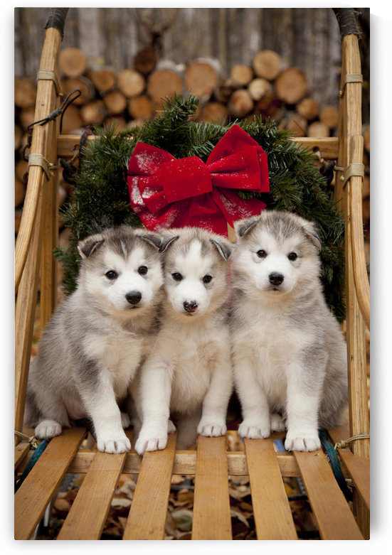 Siberian Husky Puppies In Traditional Wooden Dog Sled With Christmas Wreath, Alaska by PacificStock