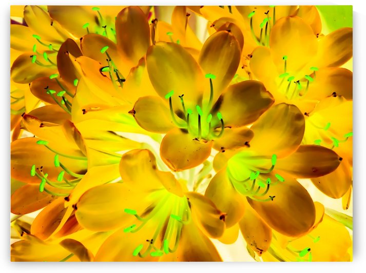 closeup yellow flower with green pollen background by TimmyLA