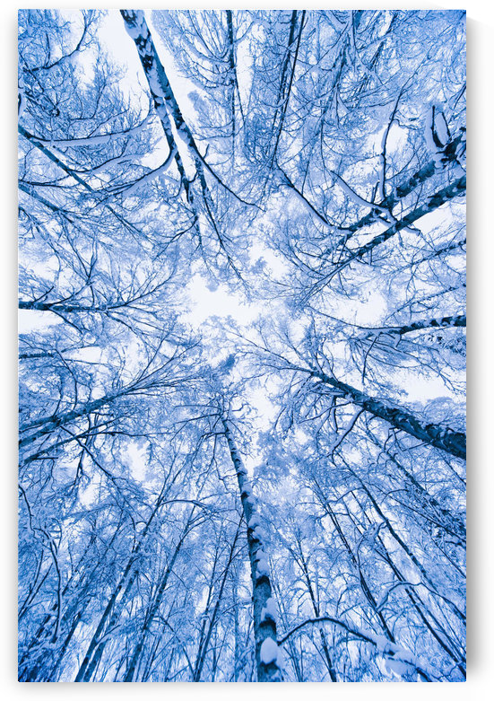 Tree Top Abstract Of A Snow Covered Birch Forest, Winter, Anchorage, Alaska by PacificStock